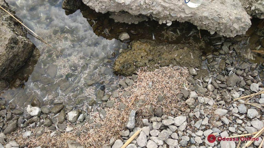 На Хаджибейском лимане массово гибнет креветка