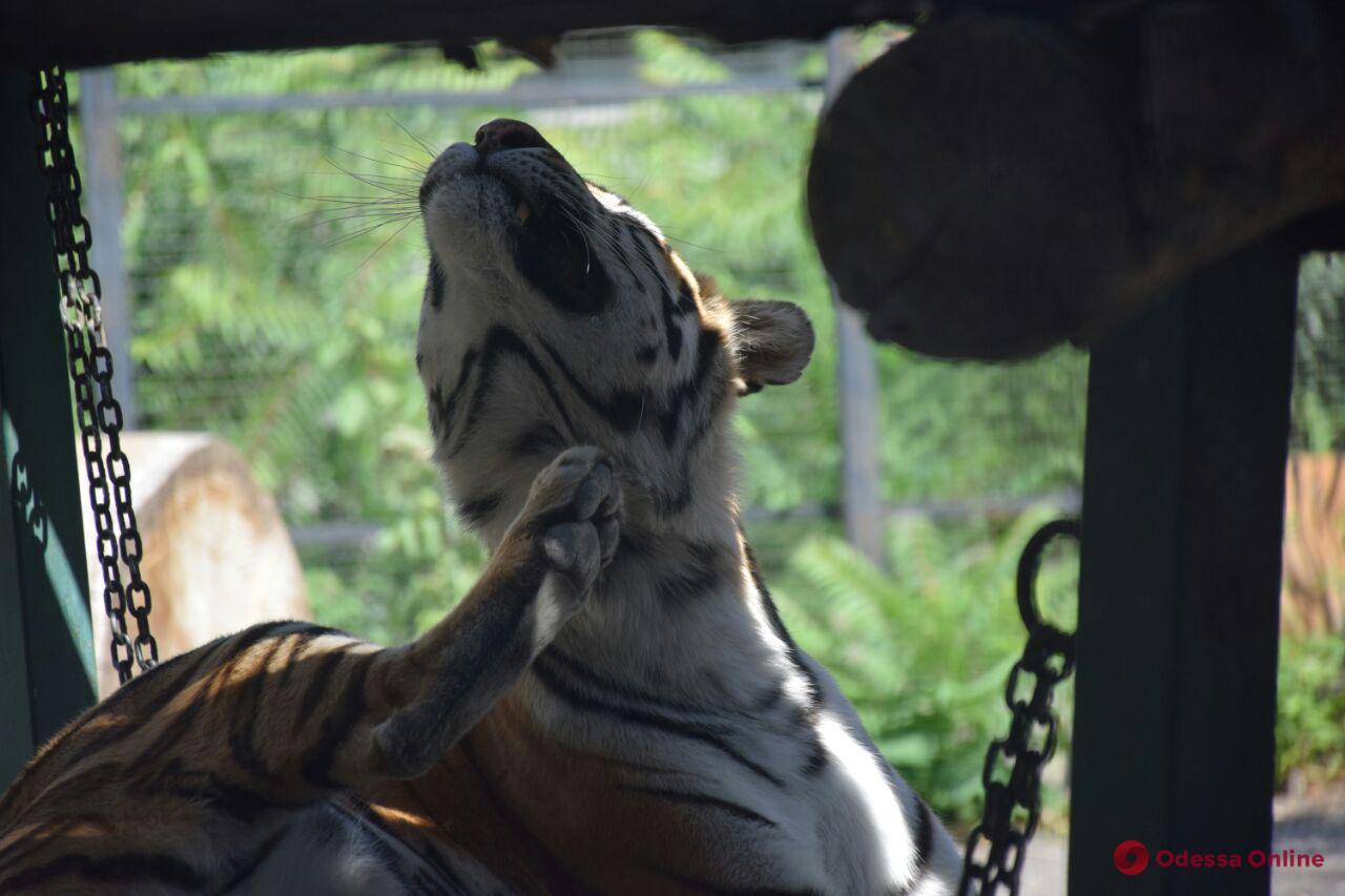 В Одессе отпразднуют День тигра