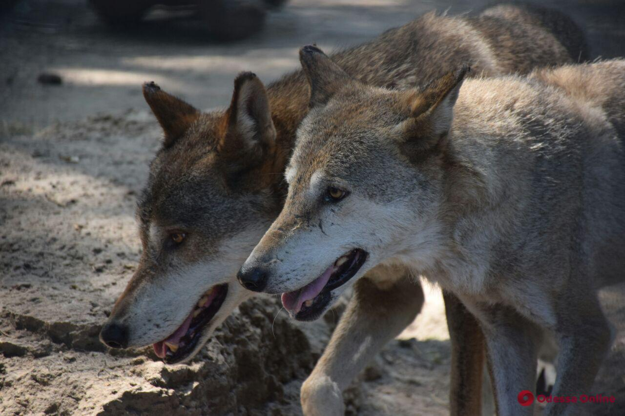 В Одесском зоопарке водили хороводы и кормили волков (фото, видео)