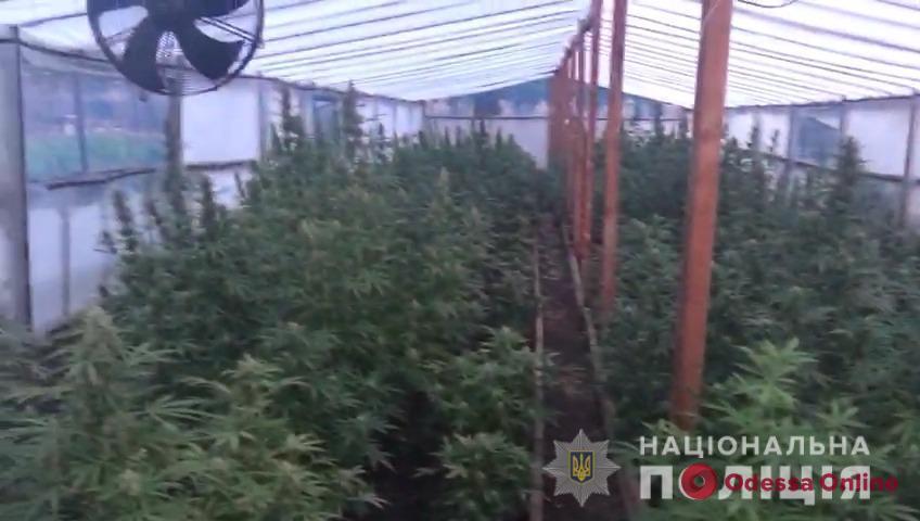 Во дворе дачного дома в Одесской области обнаружили плантацию конопли