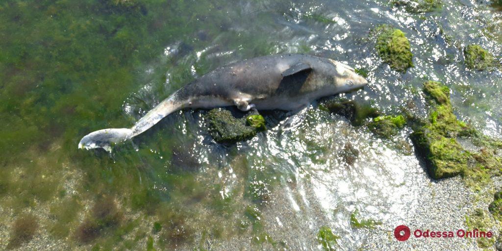 На одесский пляж выбросило мертвого дельфина