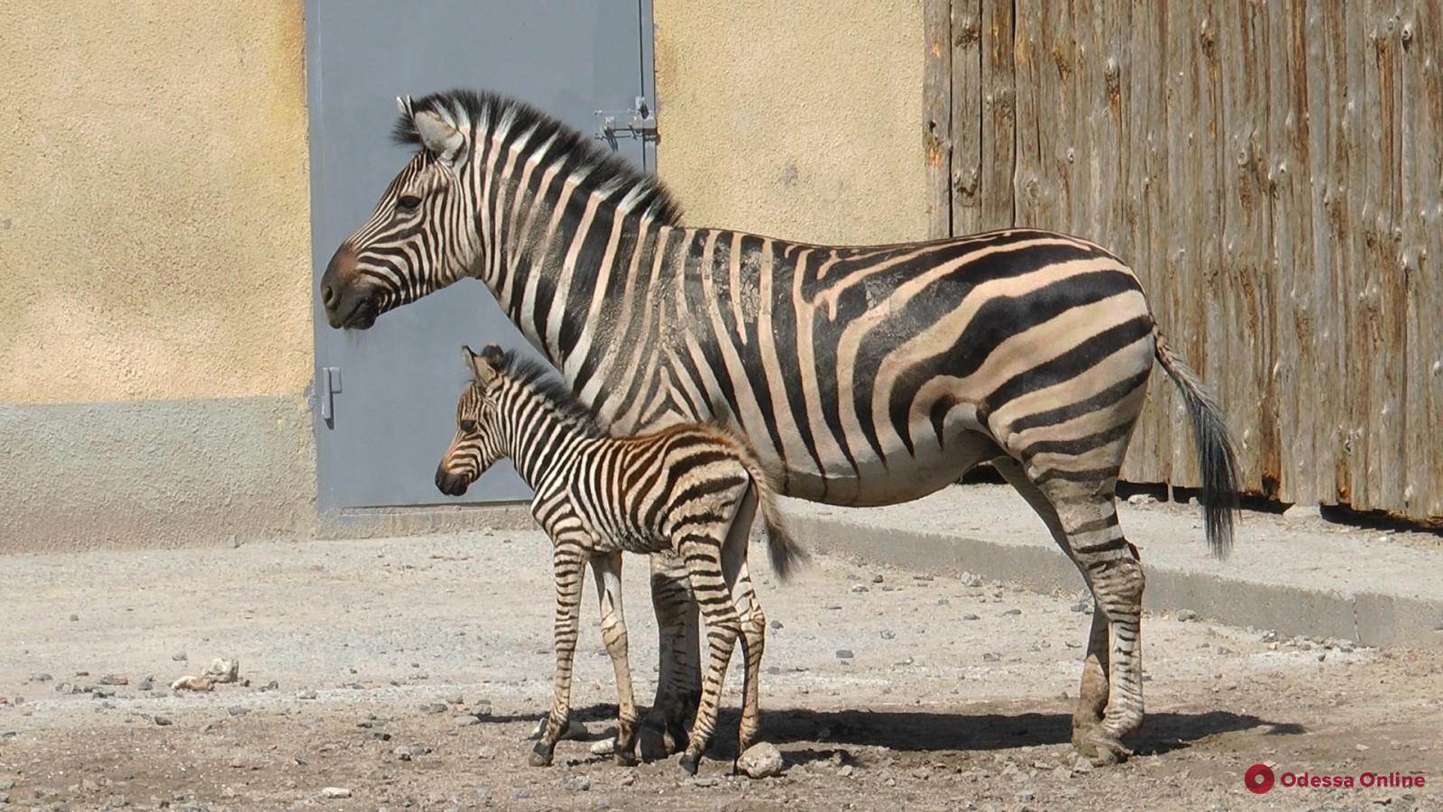 В Одесском зоопарке родился полосатый детеныш