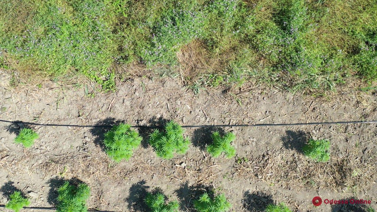 В Одесской области с помощью квадрокоптера обнаружили две плантации конопли (видео)