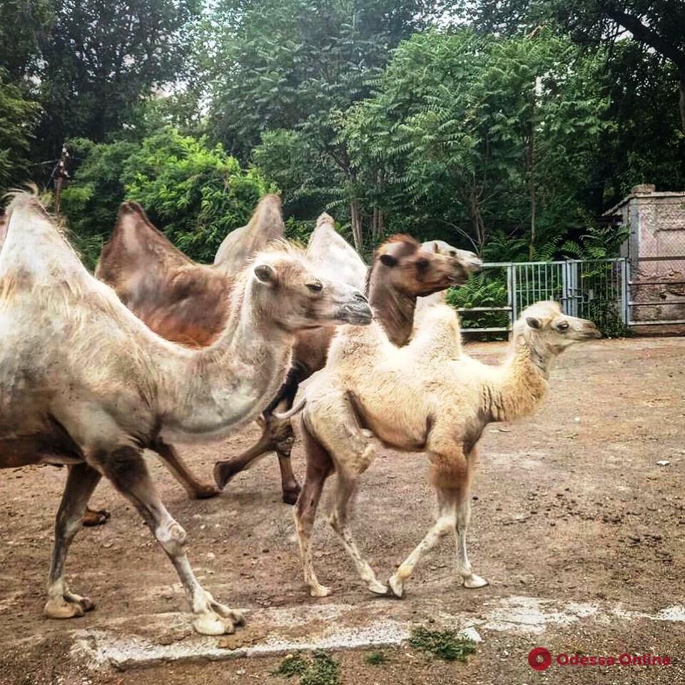 Одесситов просят придумать имена для детенышей мартышек, верблюдов и енотов (фото)