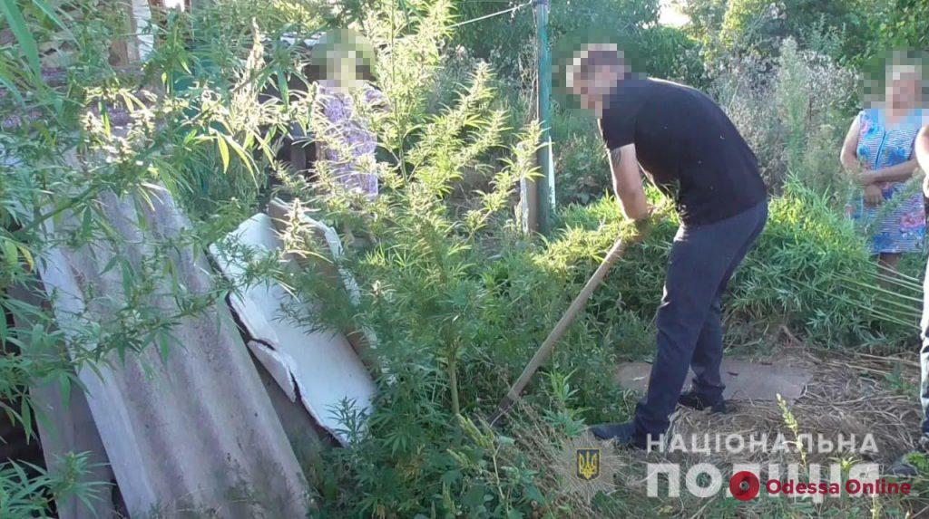 На огороде у жителя Подольска обнаружили плантацию конопли