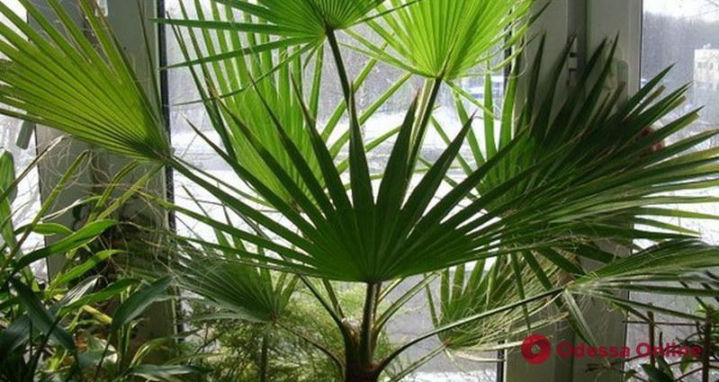 Одессит украл с балкона старую пальму