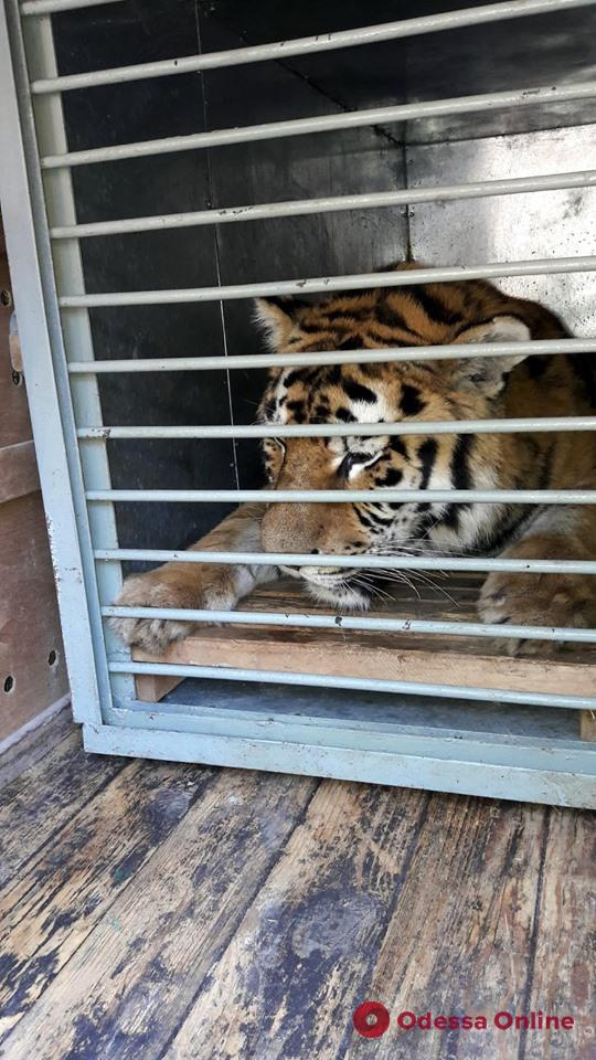 В Одесский зоопарк привезли амурского тигра