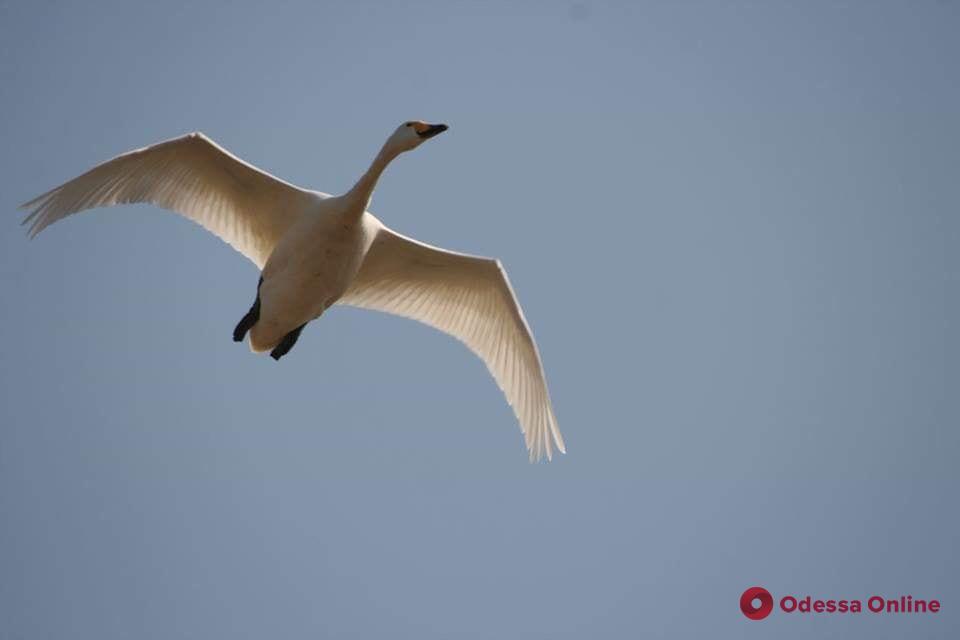 В Одесскую область прилетели краснокнижные лебеди