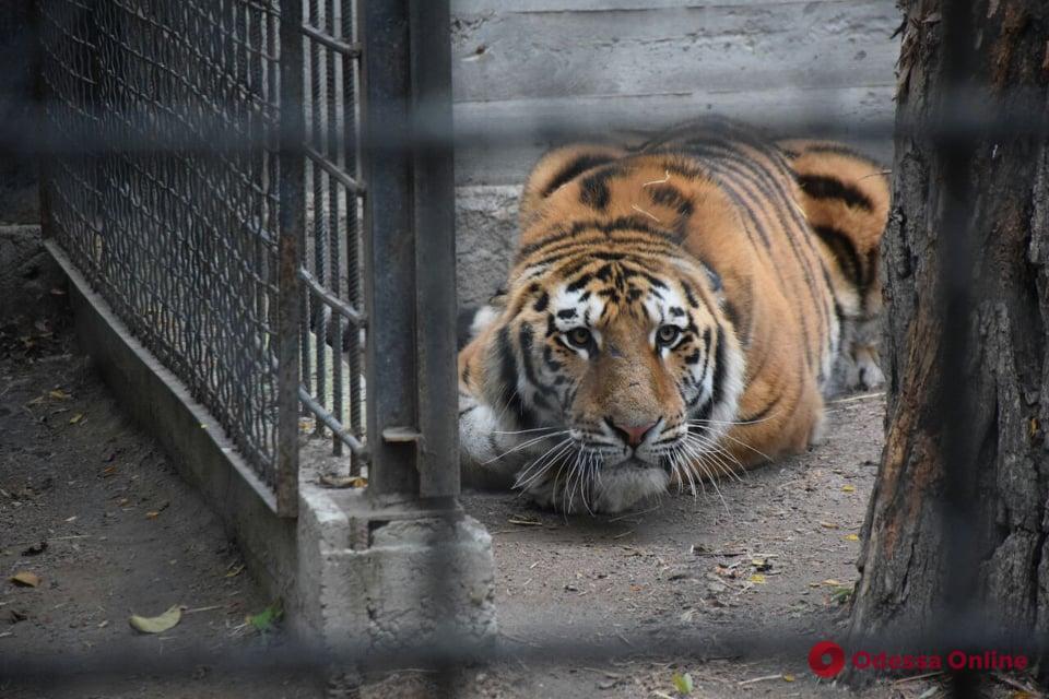 Как обживается амурский тигр в Одесском зоопарке (фото)