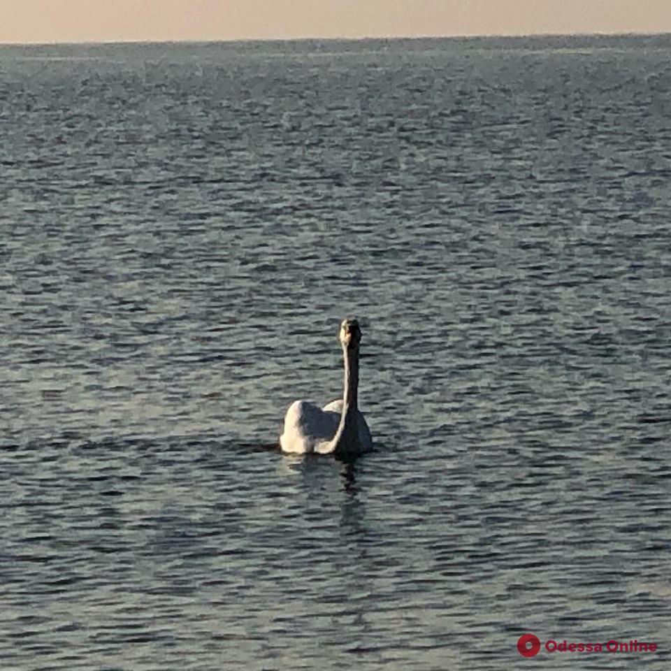 На пляже в Черноморске поселился лебедь (фото, видео)