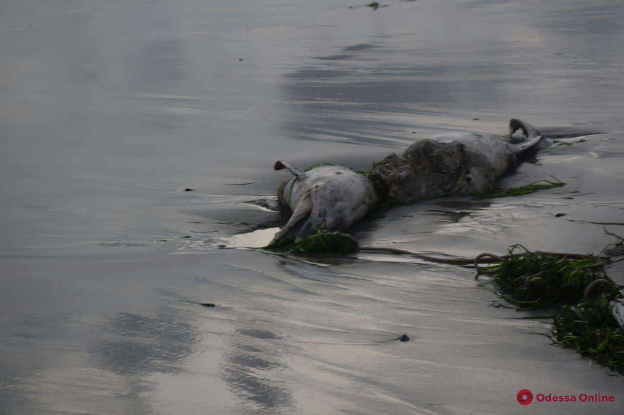 На пляж в Крыжановке выбросило мертвого дельфина