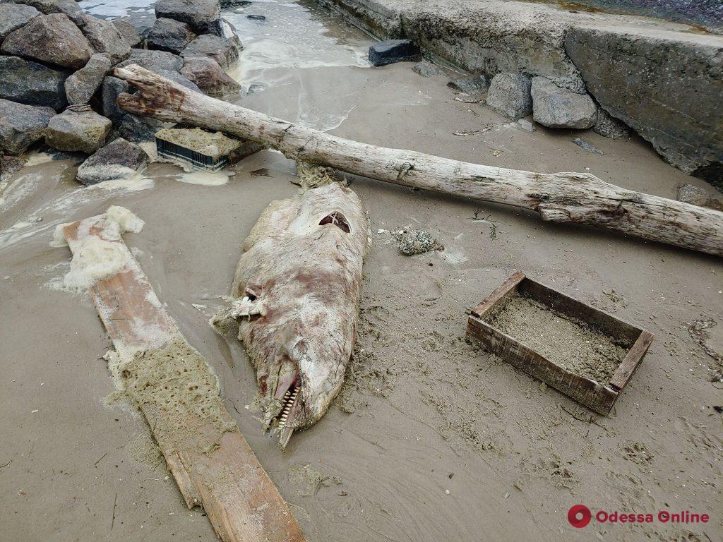 На одесском пляже снова нашли мертвого дельфина