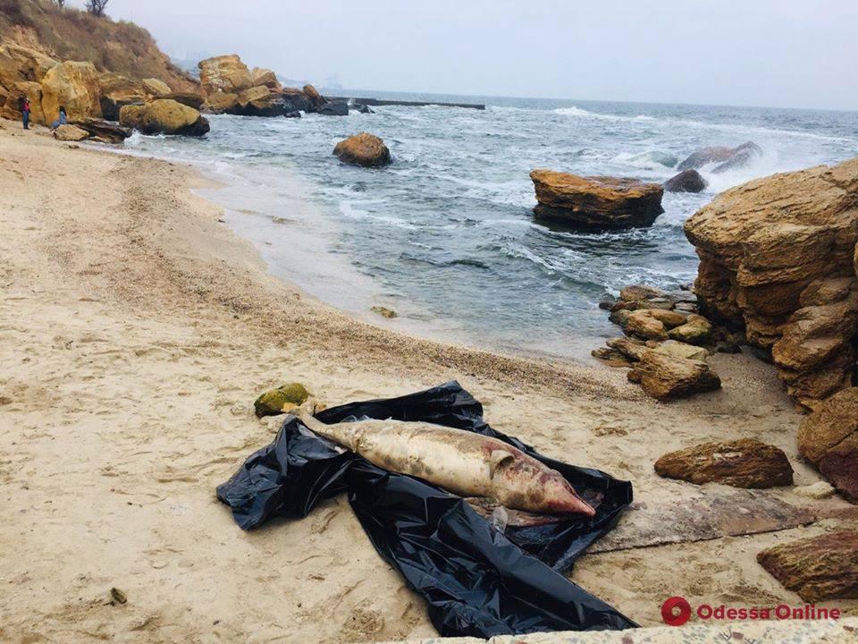 На одесский пляж снова выбросило мертвого дельфина