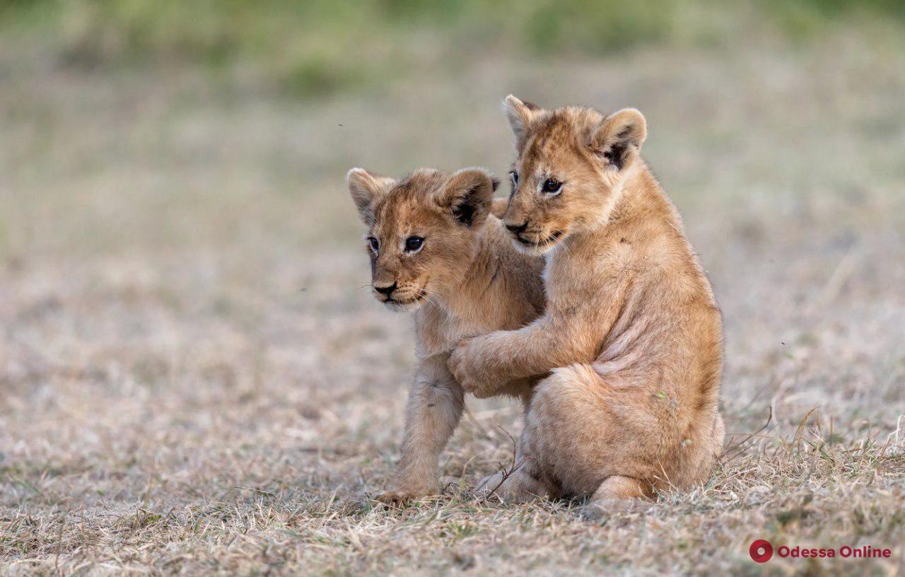 Предлагали «выпустить в живую природу»: Килийская громада вернула подаренных львят
