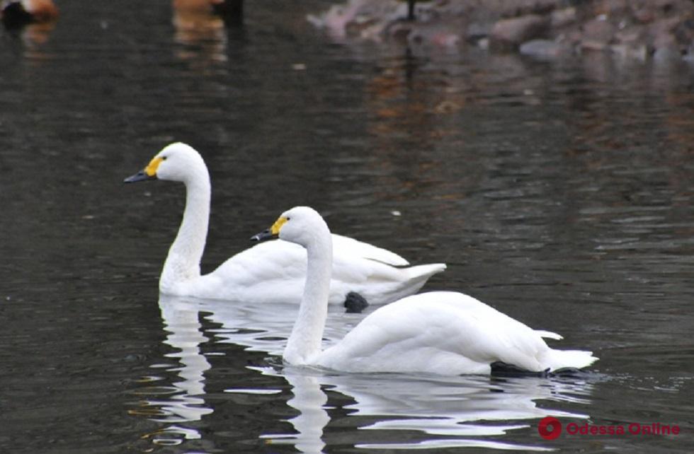 В Одесскую область на зимовку прилетели лебеди очень редкого вида (видео)