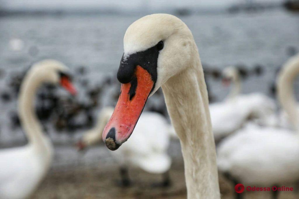 Понтонную переправу через Сухой лиман заполонили белые лебеди и черные утки (фоторепортаж)