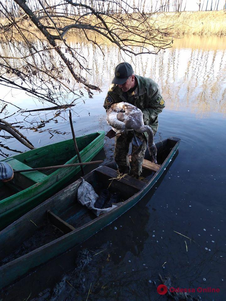 В Одесской области лесники спасли раненого и изможденного лебедя (фото)