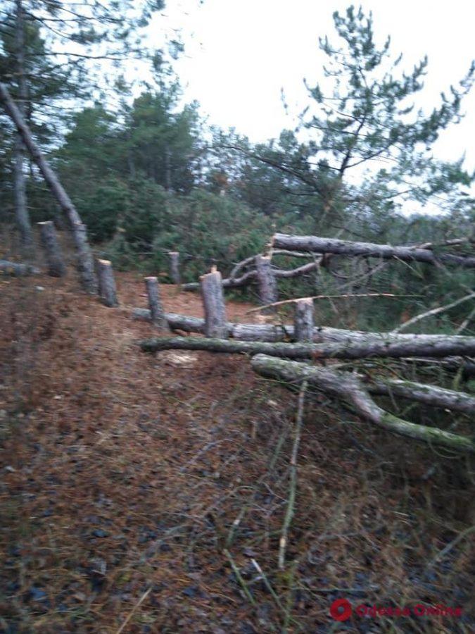 В Одесской области черные лесорубы готовятся к Новому году — спилили 96 елок