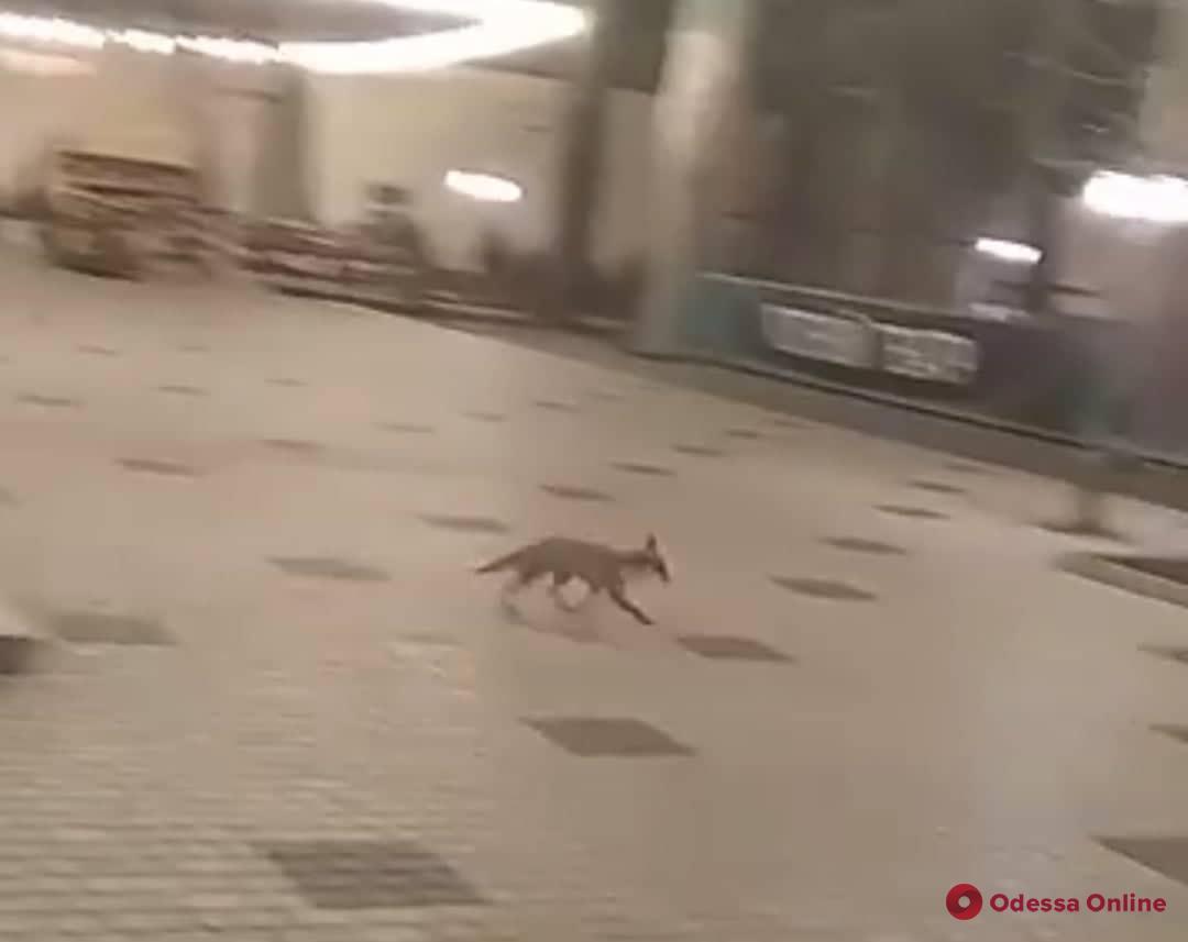 По центру Одессы бегала перепуганная лисичка (видео)