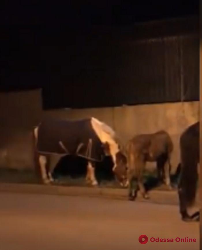 Одесские патрульные ловили четырех сбежавших лошадей (видео)
