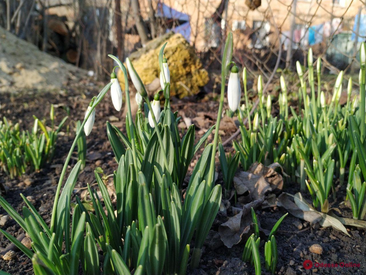 Шел третий день января — в Одессе расцвели весенние цветы (фото)