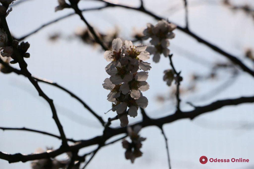 На Ланжероне зацвел абрикос (фото)