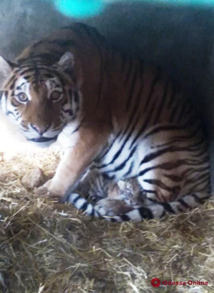 В одесском зоопарке родился амурский тигренок (фото, видео)