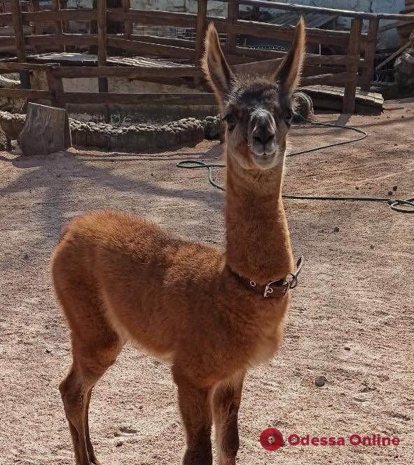 В одесском зоопарке родилась лама