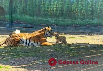 В Одесском зоопарке тигрица Натали впервые показала посетителям своего малыша (видео)