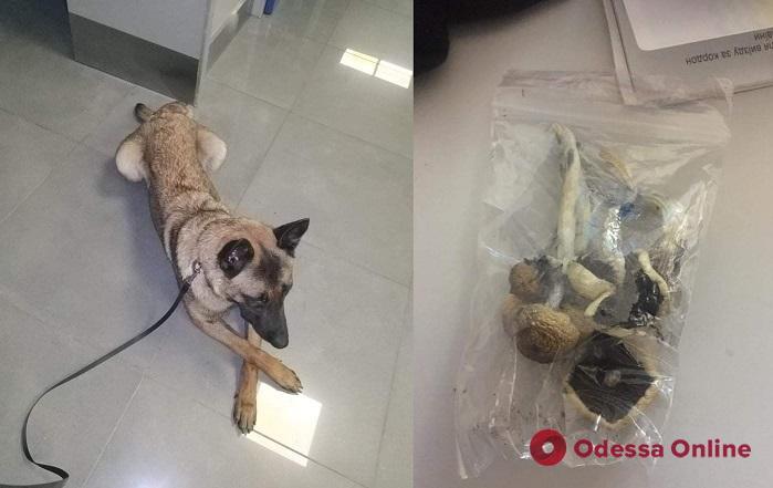 Одесская таможенная собака Фифа нашла галлюциногенные грибы