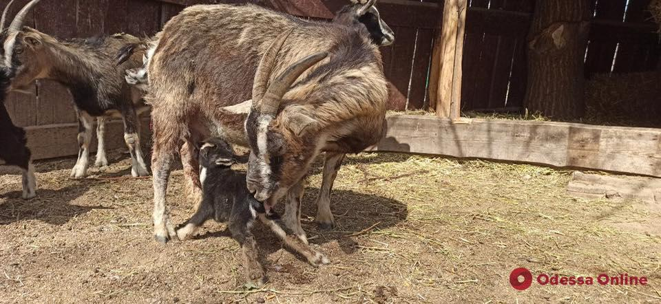 В Одесском зоопарке родился камерунский козленок