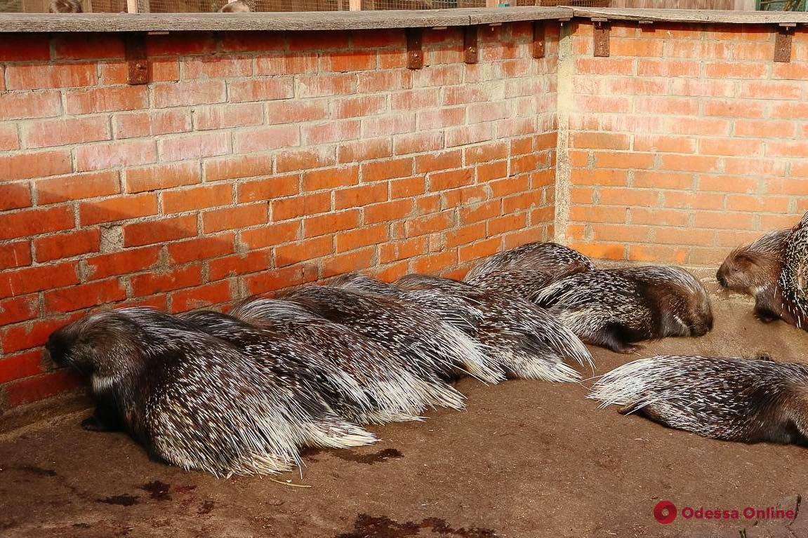 Дикобразы, носухи и совы: в одесском зоопарке ожидается пополнение