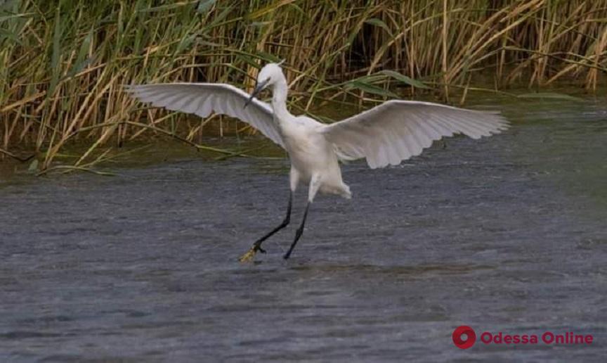 В Одесскую область из Африки прилетели грациозные белые птицы (фото)