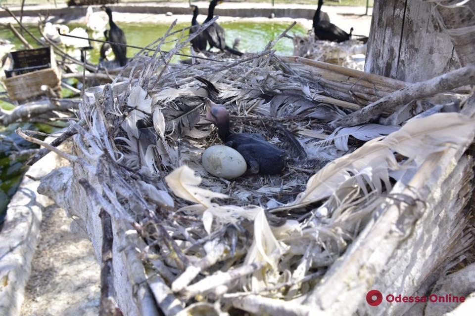 В одесском зоопарке вылупились птенцы бакланов