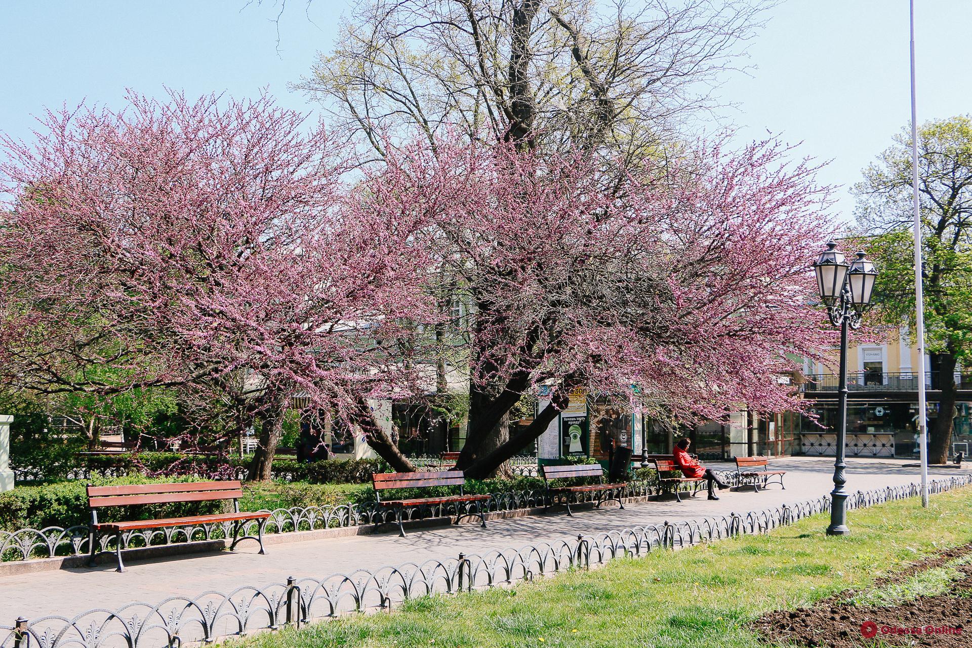 В Горсаду расцвели необыкновенно красивые деревья (фоторепортаж)