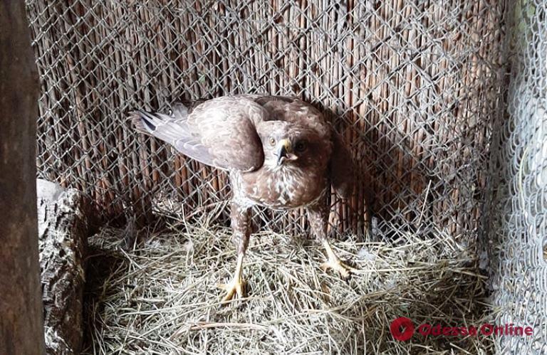 В одесском зоопарке выхаживают пострадавшую хищную птицу