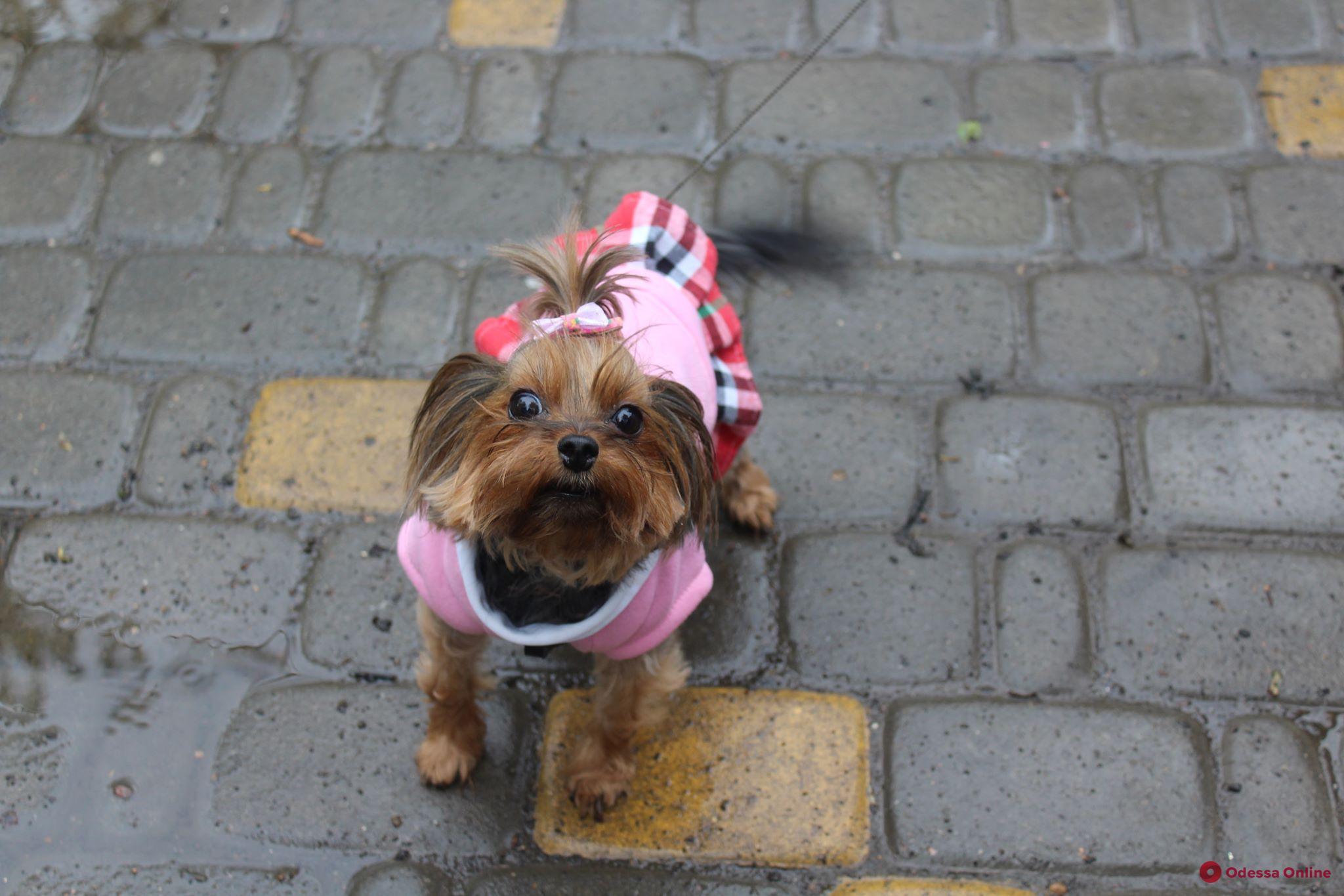 Маленькие и стильные: самые модные одесские собаки (фото)