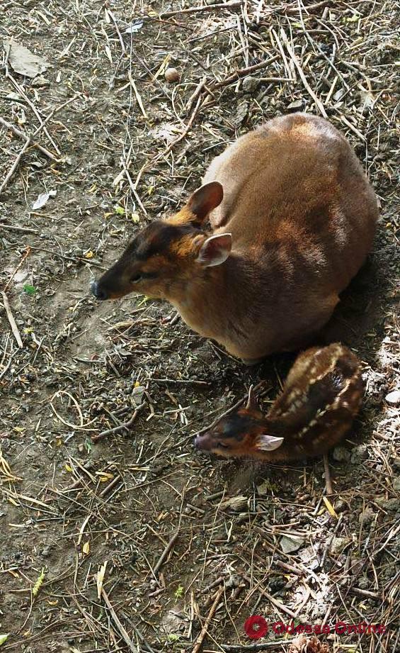 В одесском зоопарке родился олененок (фото)