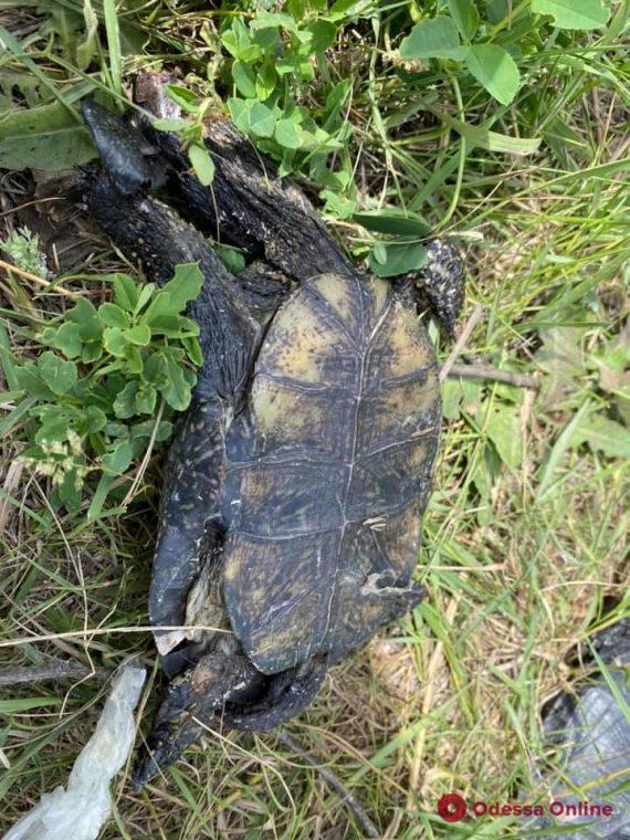 Отрубленные головы и раздавленные панцири: под Одессой живодеры жестоко убивали черепах