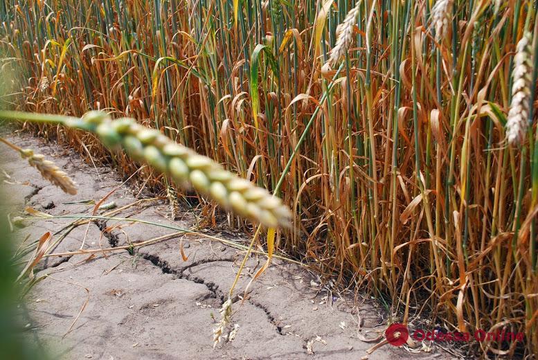 Одесский облсовет просит Кабмин выплатить дотации потерявшим из-за засухи урожай фермерам