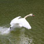 парк победы погода лебедь лебеди