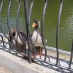 парк победы погода утка утки