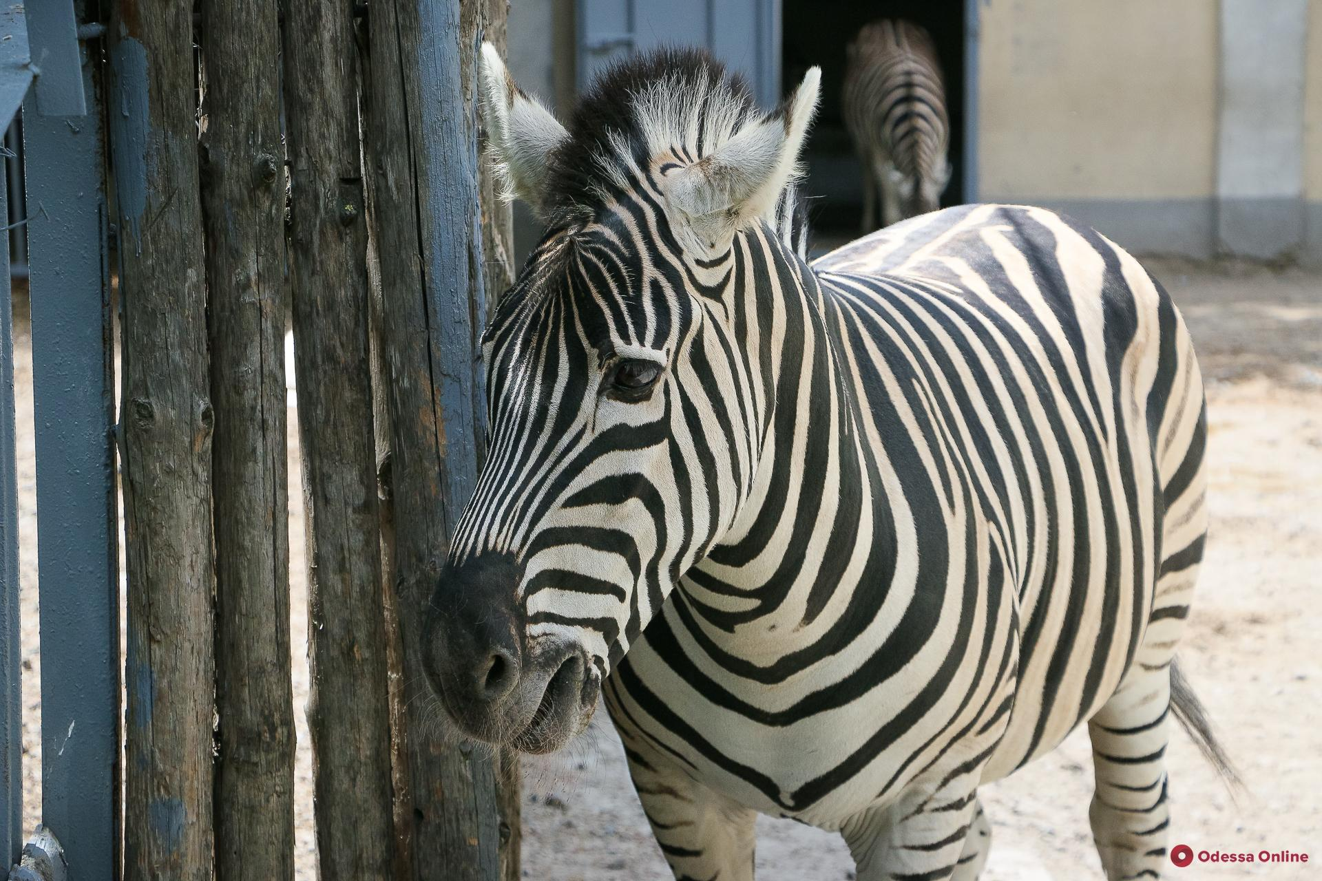 День рождения одесского зоопарка выдался «урожайным»: на свет появились теленок и зебренок (видео)