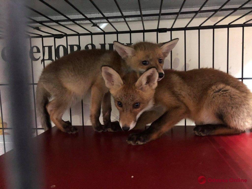 Спасти рыжих: как одесские волонтеры выхаживают и находят новый дом для лисят