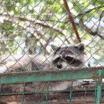 енот зоопарк