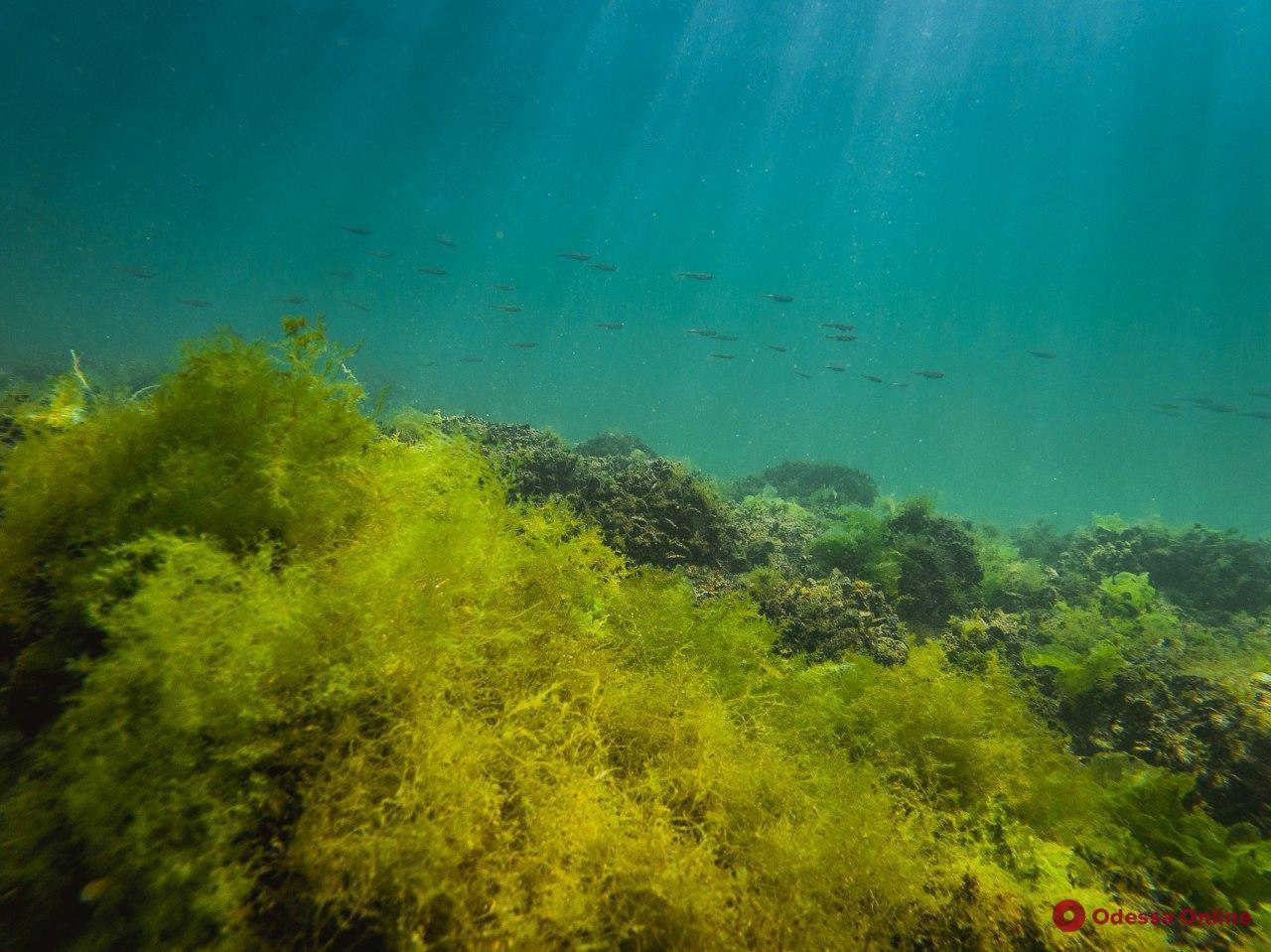 Красочный подводный мир одесского побережья (фото, видео)