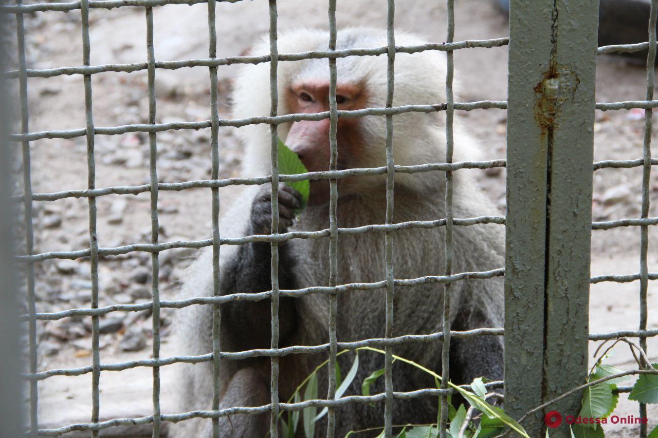 Всех сбежавших из одесского зоопарка павианов поймали (фото, видео)
