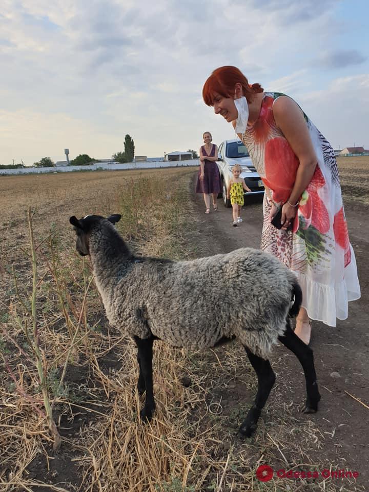 Одесские зоозащитники съездили в гости к многострадальным овцам из Черноморского порта