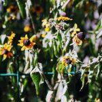жара засохшие цветы