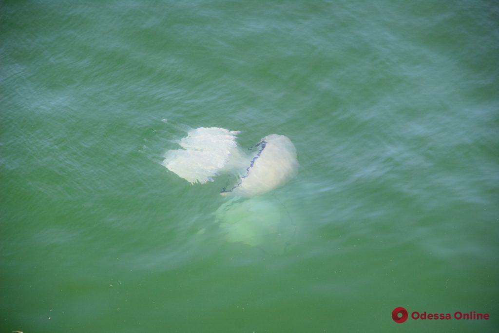 У побережья Одессы становится все больше огромных медуз (фото)